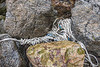 Trapped twisted rope in the western boulder field at Petit Port on Guernsey's south coast on the 30th January 2021