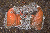 Mustang Survival life vest covered in goose barnacles washed up at Baie des Pêqueries
