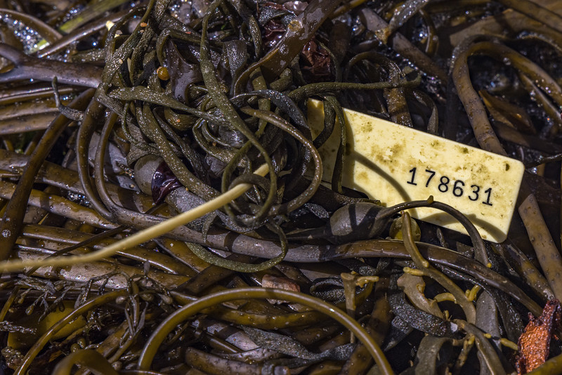 Security tag washed up in the seaweed strand line at Petit Port on Guernsey's south coast on the 21st May 2021
