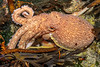 Curled or horned octopus, Eledone cirrhosa, recovering in a tide pool at Petit Port on Guernsey's south coast