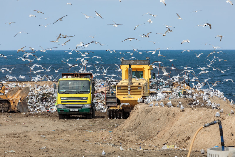 Gulls frequent Mont Cuet landfill on Guernsey's north coast looking for a meal on 11th August 2017