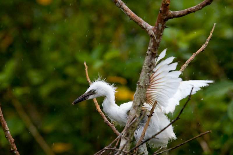 a bird dancing in the rain in the Osa Peninsula in Costa Rica
