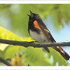 American Redstart (Photo ©Steve Byland) - Note card + envelope - $3.00