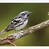Black and White Warbler (Photo ©Glenn Bartley) - Note card + envelope - $3.00