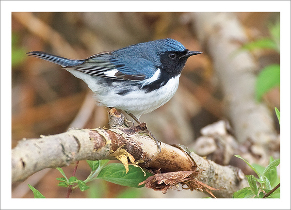 Black-throated Blue Warbler (Photo ©Jeff Moore) - Note card + envelope - $3.00