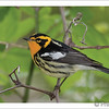 Blackburnian Warbler (Photo ©Jeff Moore) - Note card + envelope - $3.00