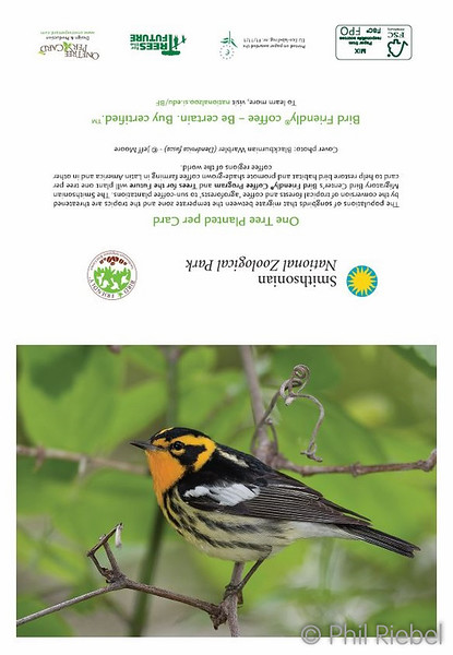 Blackburnian Warbler (full card)