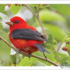 Scarlet Tanager (Photo ©Gerhard Hofmann) - Note card + envelope - $3.00