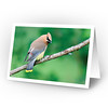 Cedar Waxwing (full card)