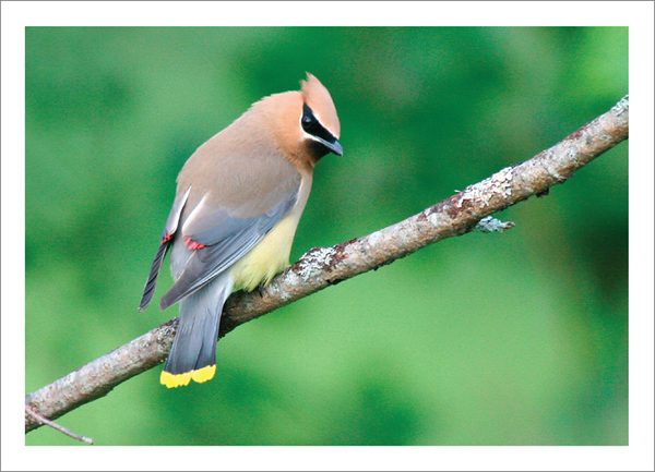 Cedar Waxwing - Note card and envelope - $3.00