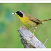 Common Yellowthroat - Note card and envelope - $3.00
