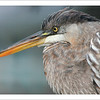 Great Blue Heron - Note card and envelope - $3.00