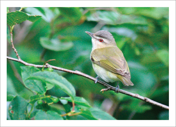 Red-eyed Vireo - Note card and envelope - $3.00