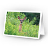 White-tailed Deer (full view of card)