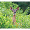 White-tailed Deer - Note cartd and envelopes - $3.00
