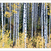 Birch Forest - Note card + envelope - $3.00