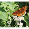 Atlantis Fritillary - Butterfly - Note card + envelope - $3.00