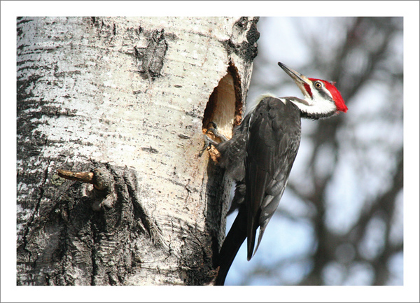 Pileated Woodpecker - Note card + envelope - $3.00