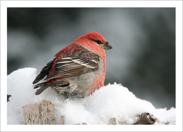 Pine Grosbeak - Christmas card + envelope - $3.00