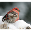Pine Grosbeak - Christmas card + envelope - $3.00