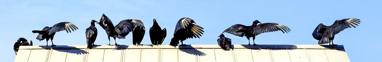 Vultures on the Suwannee<br /> (C)2012 DA HERRMANN