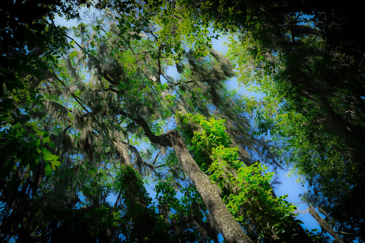 Spanish Moss over the Manatee Spring