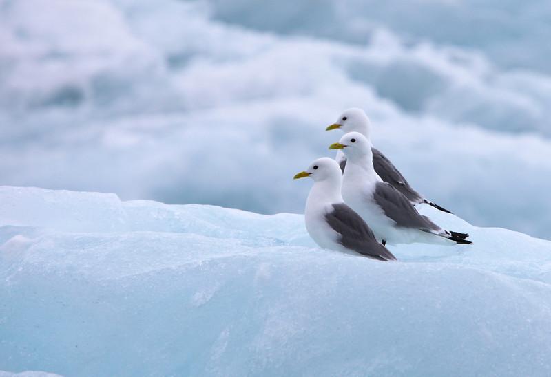 Kittiwakes on ice in Hornsund