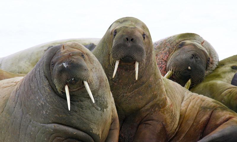 Walrus on an ice floe in Tjuvfjorden