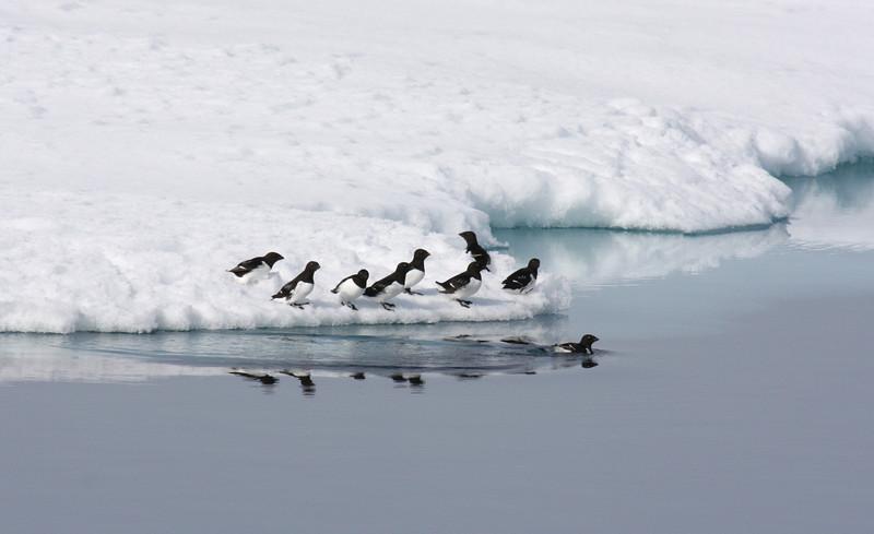 Little Auks on ice