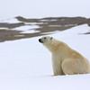 Polar bear in Murchisonfjorden