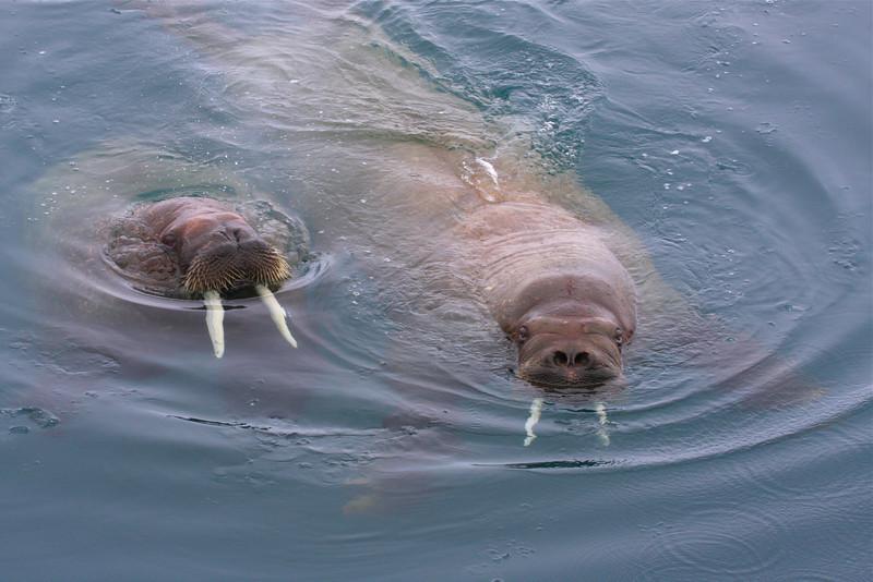 Walrus swimming in the waters of Tjuvfjorden
