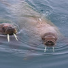 Walrus swimming in the waters of Tjuvfjorden