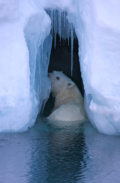 Polar bear swimming in front of the ice wall of Austfonna