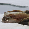 Walrus on an ice floe in Tjuvfjorden
