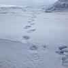 Polar bear tracks near Castrenoyane