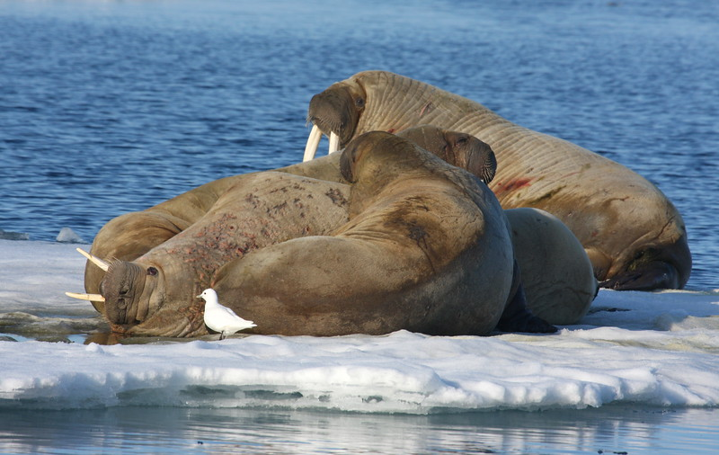 Walrus and an Ivory Gull on an ice floe in Storfjorden