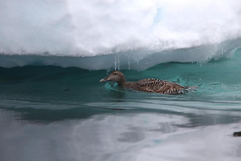 Eider ducks on the Seven Islands