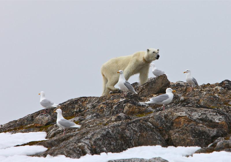 A skinny polar bear on Fugloya stealing birds' eggs