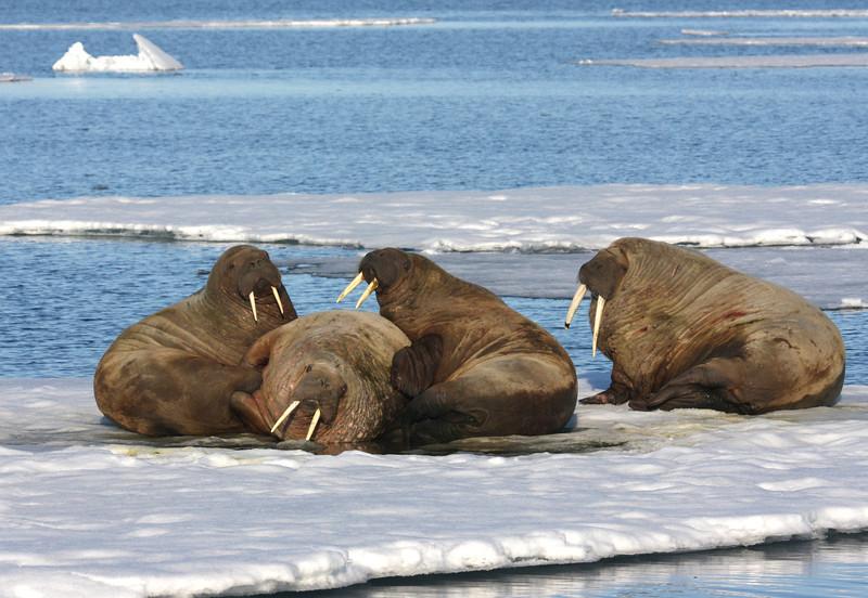 Walrus on an ice floe in Storfjorden