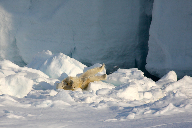 Polar bear on pack ice in front of the ice wall of Austfonna