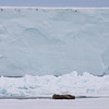Three walrus on pack ice in front of the ice wall on Austfonna