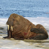 Walrus on an ice floe in Storfjorden