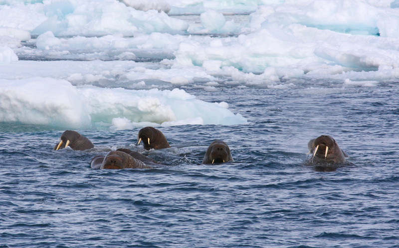 Walrus in the water off Austfonna