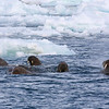 Walrus in the water off Austfonna