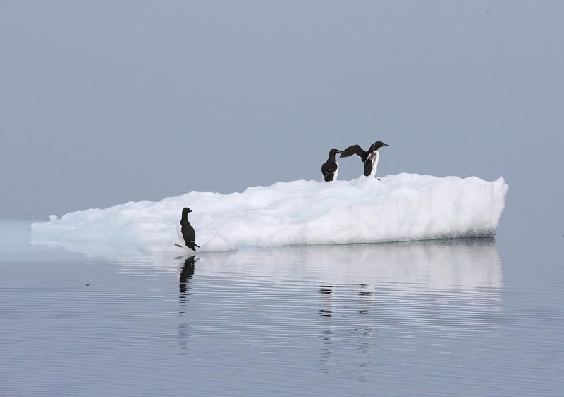 Brunnich's Guillemots on ice