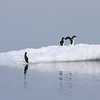Brunnich's Guillemots on ice