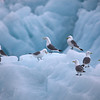 Kittiwakes on ice in Hornsund