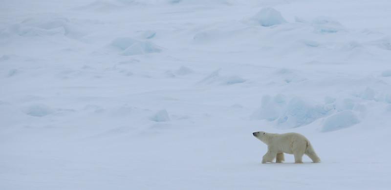 Polar bear on pack ice to the north of Hinlopenstretet