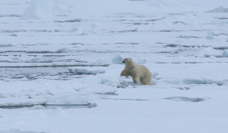 Polar bear hunting on pack ice in Erik Eriksenstretet