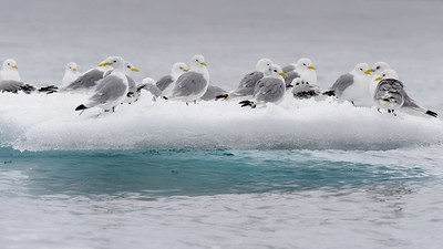 Kittiwakes on sea ice